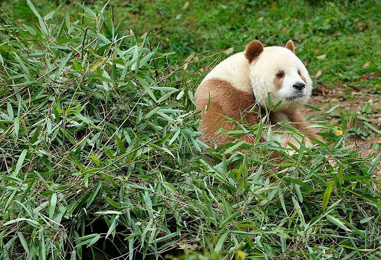 el-unico-panda-marron-del-mundo-al-fin-encontro-un-hogar-2
