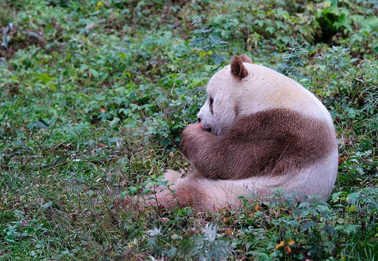 el-unico-panda-marron-del-mundo-al-fin-encontro-un-hogar-3