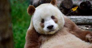 El único panda marrón del mundo al fin encontró un hogar