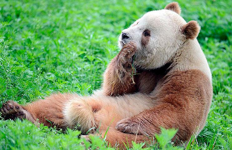 el-unico-panda-marron-del-mundo-al-fin-encontro-un-hogar-4