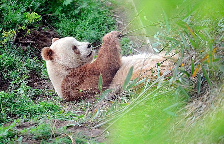el-unico-panda-marron-del-mundo-al-fin-encontro-un-hogar-5