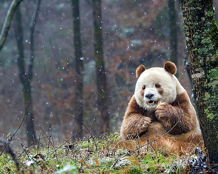 el-unico-panda-marron-del-mundo-al-fin-encontro-un-hogar-6