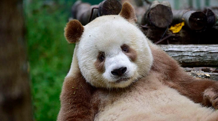 el-unico-panda-marron-del-mundo-al-fin-encontro-un-hogar-7
