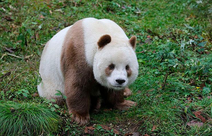 el-unico-panda-marron-del-mundo-al-fin-encontro-un-hogar-8