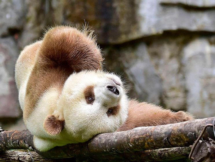 el-unico-panda-marron-del-mundo-al-fin-encontro-un-hogar-9