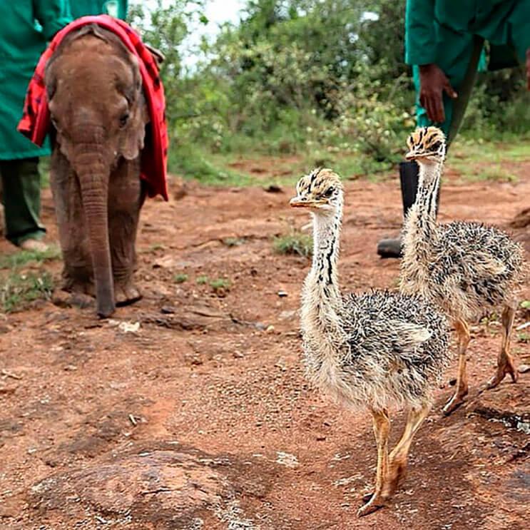 este-avestruz-se-convirtio-en-el-mejor-amigo-de-este-elefante-luego-de-que-perdiera-a-su-mama-1
