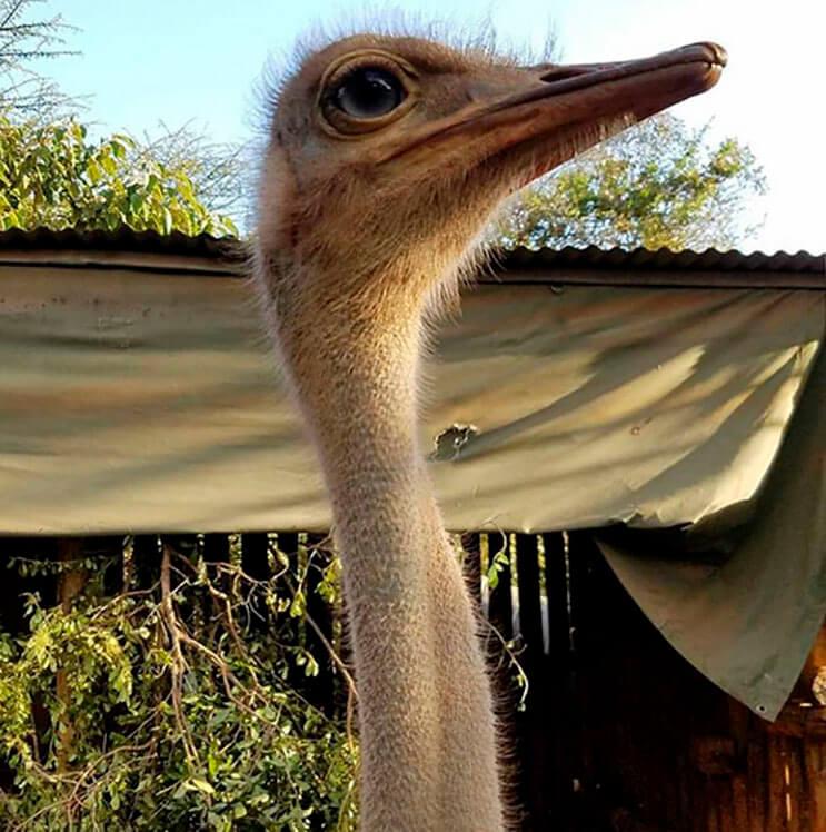 este-avestruz-se-convirtio-en-el-mejor-amigo-de-este-elefante-luego-de-que-perdiera-a-su-mama-2