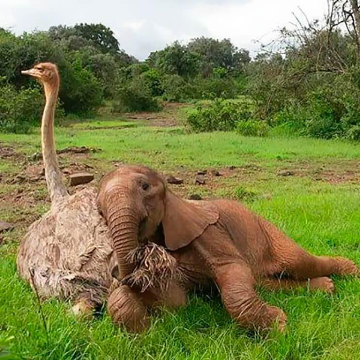 este-avestruz-se-convirtio-en-el-mejor-amigo-de-este-elefante-luego-de-que-perdiera-a-su-mama-3