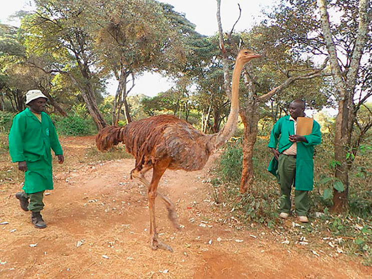 este-avestruz-se-convirtio-en-el-mejor-amigo-de-este-elefante-luego-de-que-perdiera-a-su-mama-4