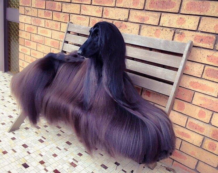 este-perro-ha-sido-elegido-como-el-mas-bello-del-mundo-1