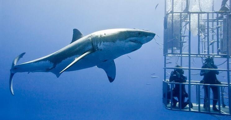 tiburon-se-metio-a-la-jaula-de-proteccion-y-nos-ensena-por-que-no-es-bueno-meterse-con-ellos