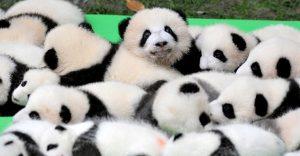 Estos adorables pandas nacieron en China y se han convertido en toda una sensación