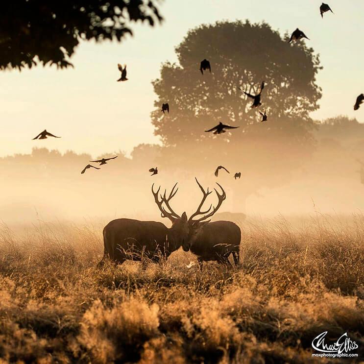 majestuosos-renos-fotografiados-por-max-ellis-12