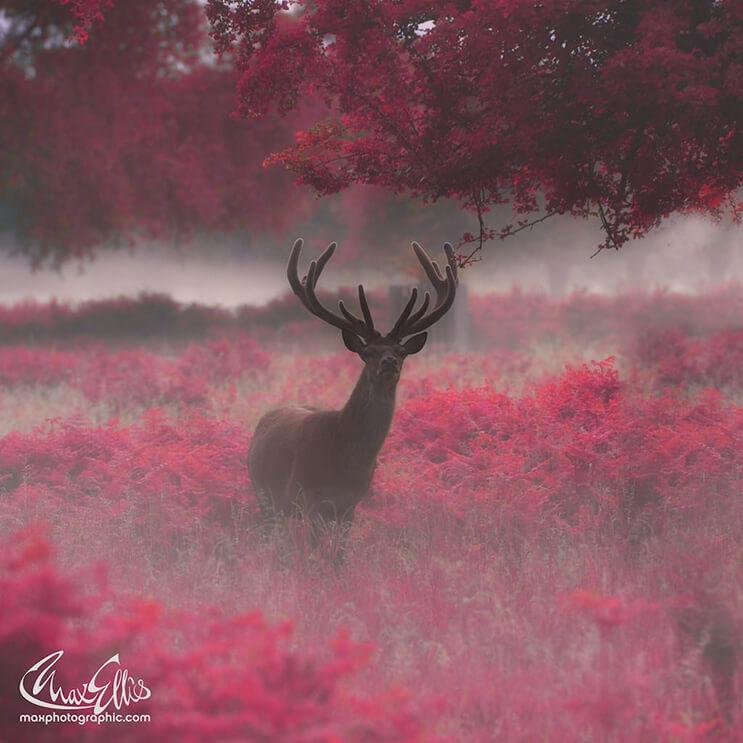 majestuosos-renos-fotografiados-por-max-ellis-3