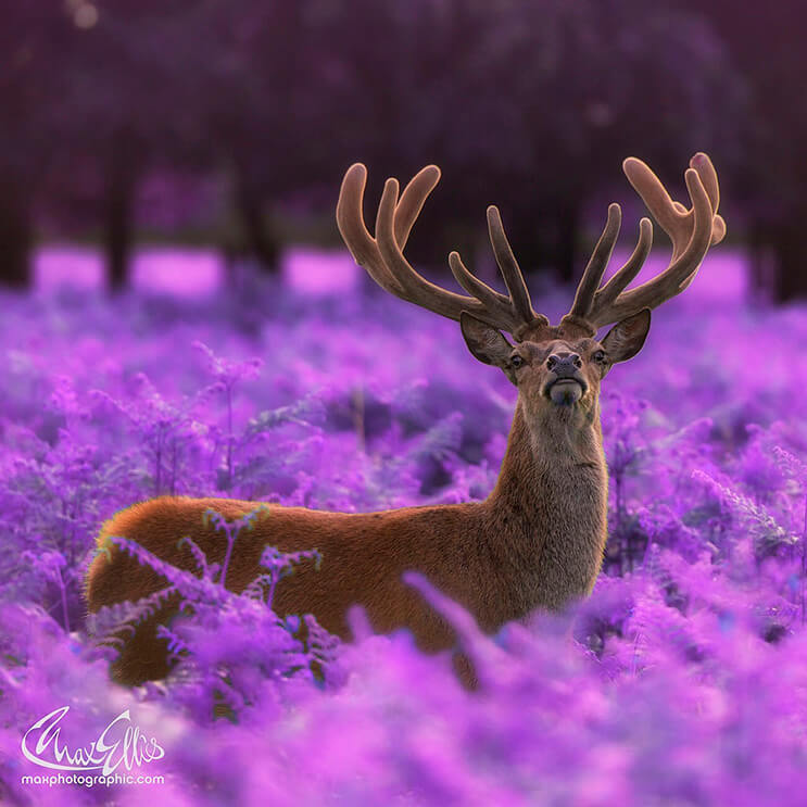 majestuosos-renos-fotografiados-por-max-ellis-7
