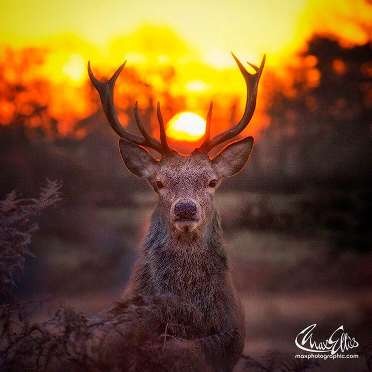 majestuosos-renos-fotografiados-por-max-ellis-8