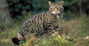 Los gatos pueden ser solitarios y se puede deber a sus ancestros