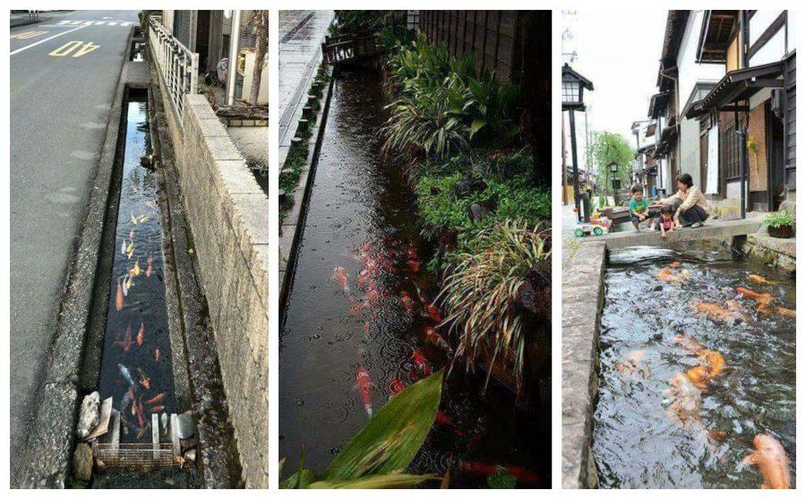 El canal de drenaje en Japón es tan limpio que incluso tienen el pez Carpa Koi